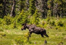 退出翠菊公园足迹的公牛麋一个海狸池塘在冰川国家公园 免版税库存照片