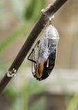 退出蝶蛹的黑脉金斑蝶 图库摄影