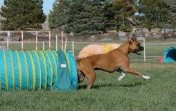 退出隧道的Morgie在NADAC狗敏捷性试验 免版税图库摄影