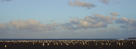 退回家庭的福克兰群岛的Gentoo企鹅 免版税库存照片
