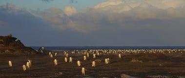 退回家庭的福克兰群岛的Gentoo企鹅 库存照片