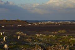 退回家庭的福克兰群岛的Gentoo企鹅 免版税库存图片