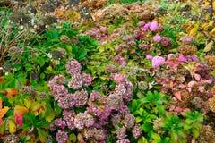 退色的八仙花属花在秋天,在秋天的凋枯的八仙花属 库存图片