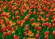 退色的橙色和黄色郁金香 免版税库存照片