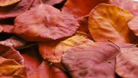 退色的红色叶子 股票录像