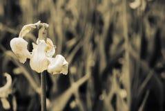 退色的郁金香的美丽的瓣 免版税库存照片