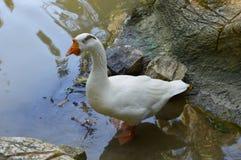 送进水的骄傲的鹅在池塘 免版税库存照片