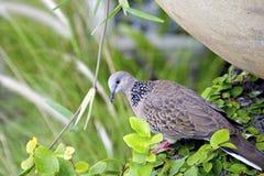 适当的热带野生斑尾林鸽 免版税库存图片