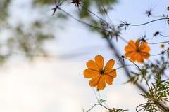 适当美丽的黄色花和树在庭院和日出里 库存图片