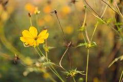 适当美丽的黄色花和树在庭院和日出里 图库摄影
