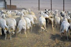 逃亡的母羊 免版税库存图片