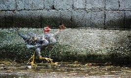 逃亡鸡 免版税图库摄影