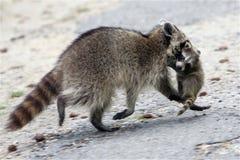 逃脱与婴孩的母亲浣熊 库存照片