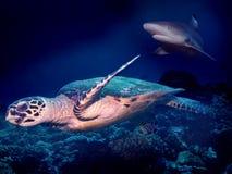 逃脱的鲨鱼乌龟 免版税库存照片