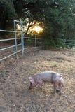 选拔与逗人喜爱的卷曲尾巴,可看见一头蹄被养的整个宠物的猪,日落光的幼小桃红色肮脏的家养的猪 免版税库存照片