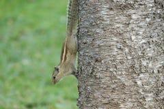 选拔印地安灰鼠休息的南洋杉columnaris树干tr 图库摄影
