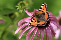 选拔在一朵五颜六色的庭院花的小蛱蝶 库存照片
