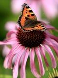 选拔在一朵五颜六色的庭院花的小蛱蝶 免版税库存图片