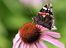 选拔在一朵五颜六色的庭院花的红蛱蝶蝴蝶 免版税图库摄影