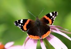 选拔在一朵五颜六色的庭院花的红蛱蝶蝴蝶 库存图片