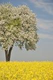 选拔在油菜籽领域的开花的洋梨树 库存图片