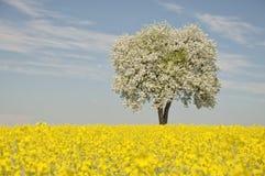 选拔在油菜籽领域的开花的洋梨树 免版税库存照片