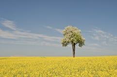选拔在油菜籽领域的开花的洋梨树 库存照片