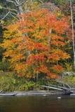 选拔在法明顿河的明亮的秋天树,小行政区, Conne 免版税库存照片