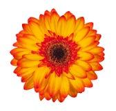 选拔在白色背景隔绝的橙色大丁草花 库存图片