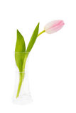选拔在花瓶的桃红色郁金香被隔绝在白色 库存图片