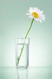 唯一新鲜的春黄菊在被隔绝的玻璃水中 库存图片