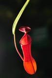 选拔猪笼草ampullaria杰克,做照明设备由CLS闪光 免版税库存图片