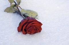 选拔玫瑰色在展示 免版税图库摄影