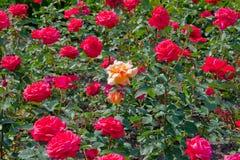 选拔玫瑰色 免版税库存图片