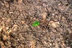选拔生长在干燥,破裂的泥的绿色植物 库存图片