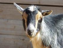 选拔看照相机的被驯化的山羊 图库摄影