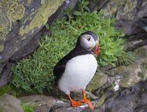 选拔紧密大西洋海鹦站立在Latrabjarg鸟峭壁岩石的Fratercula arctica  免版税库存图片