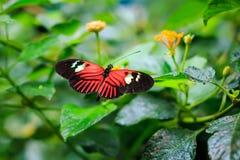 选拔红色邮差蝴蝶或共同的邮差(Heliconius melpomene) 库存照片