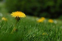 选拔绿草围拢的黄色蒲公英花在春天 免版税库存照片
