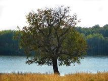 选拔老树用水和森林在背景中 免版税库存图片