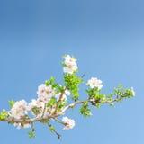 选拔苹果树开花的分支反对春天蓝天 免版税库存图片