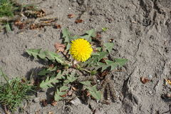 选拔蒲公英黄色花在土的 库存照片