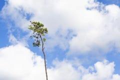 选拔,努力的杉树反对蓝色和白色夏天天空 图库摄影