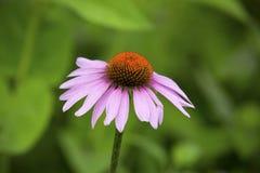 选拔紫色coneflower,与淡紫色光芒和橙色圆盘,弗农,康涅狄格 库存照片