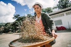 选择咖啡豆的妇女 图库摄影
