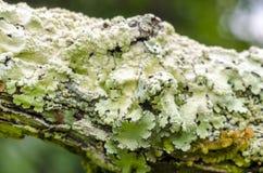 选择深深在生长在一个老树枝的地衣的领域 图库摄影