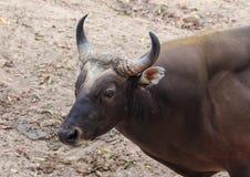 选择的焦点动物饲养黑母牛 库存图片