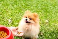 选择的焦点尾随食用眼睛棕色pomeranian的狗一些食物 免版税库存图片