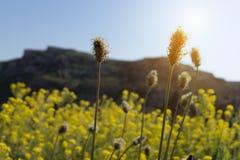 选择聚焦干燥黄色草在草甸在春天su开花 库存图片