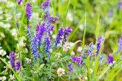 选择聚焦,淡紫色野花美好的背景在绿草被弄脏的背景的  野花,草地早熟禾 图库摄影